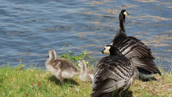 Cover Image for Canada geese with her young in Stockholm Sweden