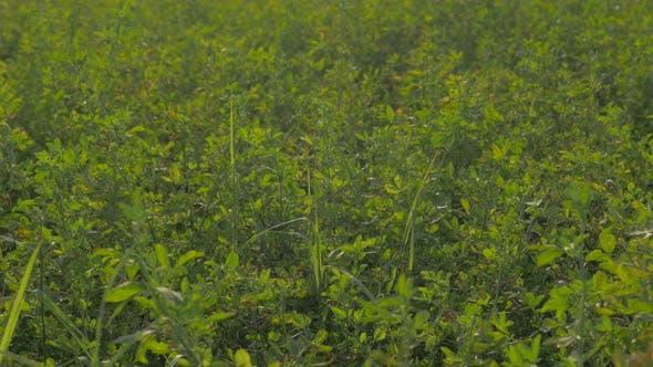Clover field against sun 4K 3840X2160 UHD footage - Natural outdoor clover fields 4K 2160p UHD video