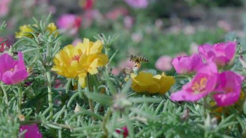 Close Up of One Honey Bee Flying Around Honeysuckle Flowers