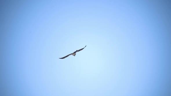 A Free Bird Soars in the Blue Sky