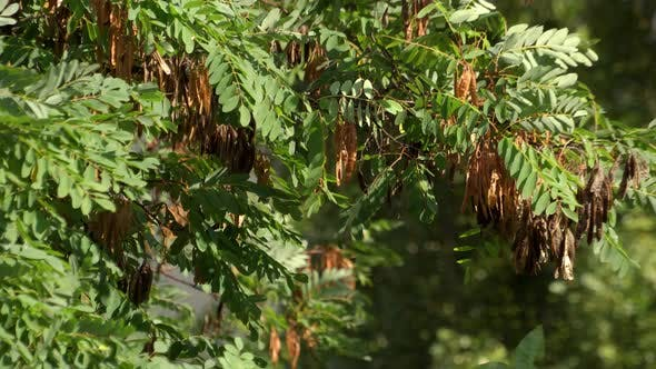 Branches of Acacia with Seeds Swaying in the Wind
