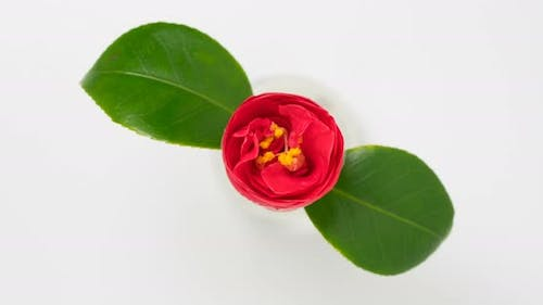 Japanese Camellia Flower Blooming Time Lapse