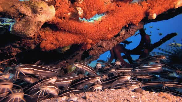 Thumbnail for Tropical Catfish and Red Sea Sponge