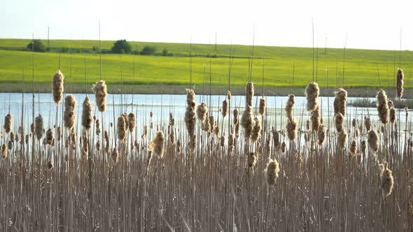 Thumbnail for Reeds On The Background Of The River And Field