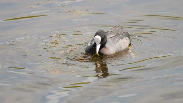 Cover Image for Coot Swimming in Pond