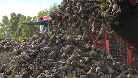 Thumbnail for Agricultural Vehicle Harvesting Sugar Beets. Fresh Sugar Beets on the Field Farm