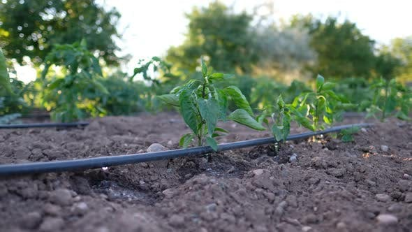 Thumbnail for Greenhouse Drip Irrigation