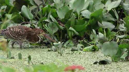 Rufescent Tiger Heron Immature Lone Hunting Foraging Striking Miss Empty