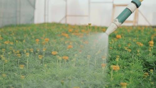 Gardener Watering Marigold Flowers