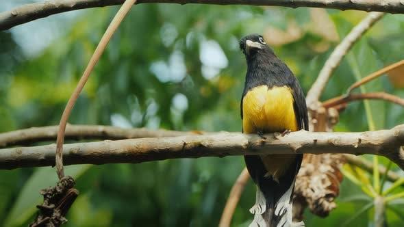 Motley Black-headed Trogon Is a Species of Bird in the Family Trogonidae