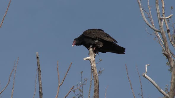 Thumbnail for Turkey Vulture Lone Perched in Spring Branch Snag in South Dakota