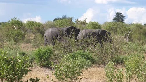 African Bush elephants passing by