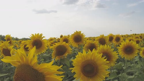 A field of yellow sunflowers