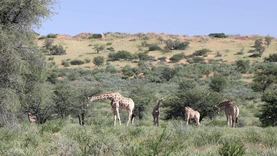 Thumbnail for cute Giraffes, South Africa wildlife