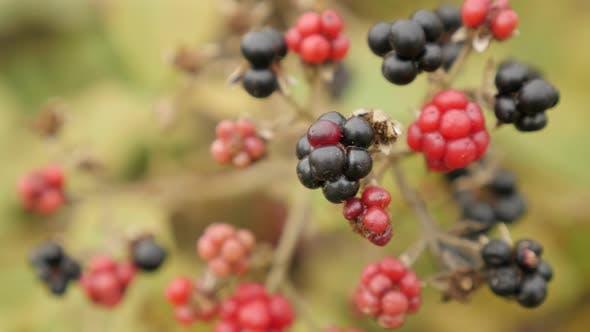 Thumbnail for Shallow DOF of wild European blackberry bush 4K 2160p 30fps UltraHD footage - Close-up of Rubus frut