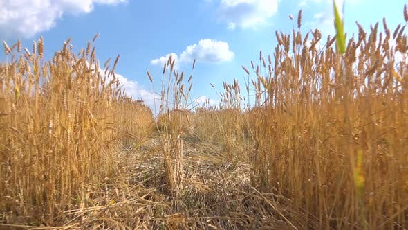 Thumbnail for Walking Through the Field of Wheat
