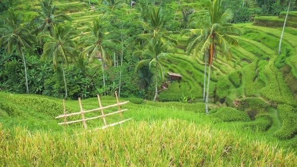 Palmeras De Coco Moviéndose Por El Viento En La Terraza De Arroz Tegalalang Bali República De Corea De Shunga Shanga En Envato Elements