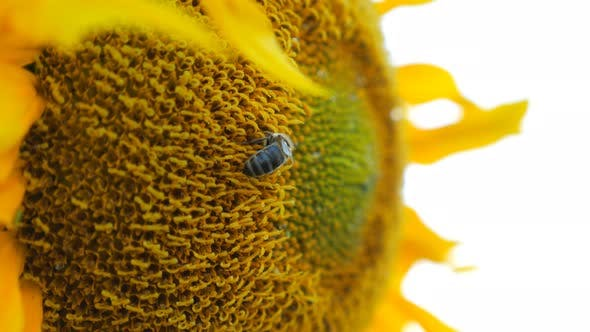 Thumbnail for Bee Gathering Nectar From Ripened Sunflower in Field, Bumble Gathering Pollen on Yellow Flower