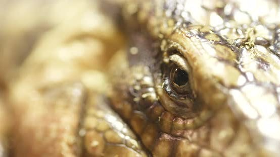 Thumbnail for Collared Lizard Close up