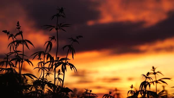 Thumbnail for Marijuana Field in the Amazing Sunset Background. Leaves of Canabis Swaying in the Wind.