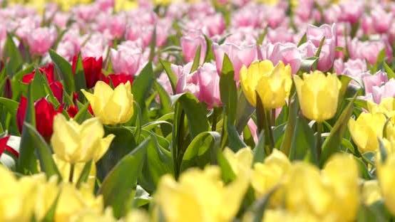 Thumbnail for Colorful Tulip flower farm