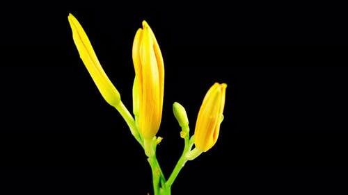 Time Lapse of Beautiful Orange Lily Flower Blossoms