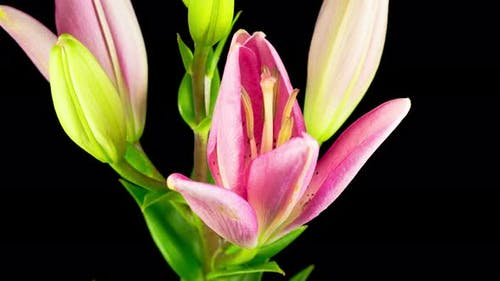 Time Lapse of Beautiful Pink Lily Flower Blossoms