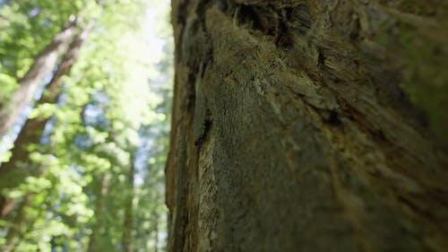 Big Redwood Tree