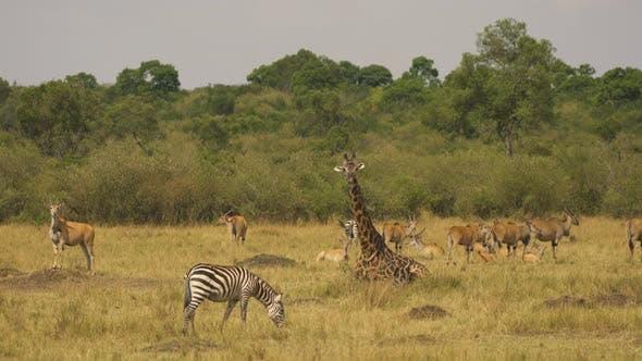 Antelopes, zebras and a giraffe in Masai Mara