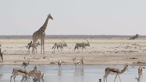 Giraffe Overlooking a Waterhole