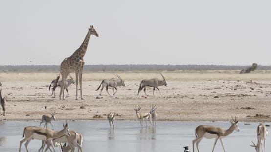 Thumbnail for Giraffe Overlooking a Waterhole