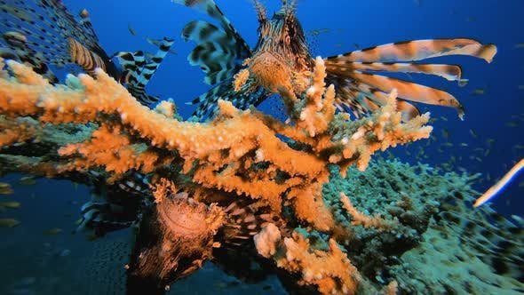 Thumbnail for Underwater LIonfish Coral Garden