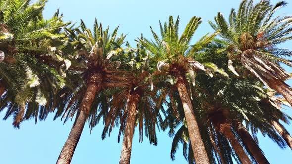 Thumbnail for Moving Shot aus dem Grund auf von hohen Palmen an einem sonnigen Tag