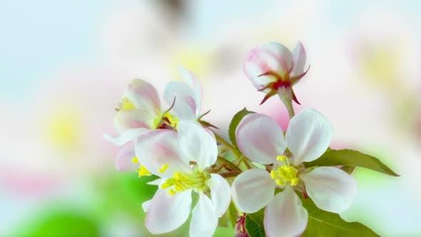 Apple Blossom Timelapse on Blue