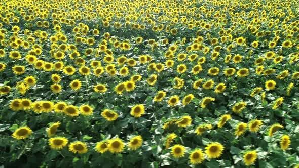 Thumbnail for Flying over Sunflowers