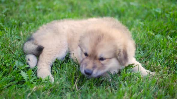 Thumbnail for Puppy Dog Wide Shot Outside On Grass Laying On Her Side Eating Grass 2