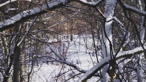 Close-up. Snow lies on the branches of trees in the forest. A beautiful winter tale. Slow motion.