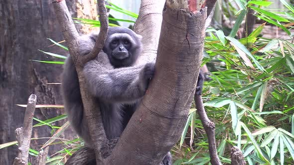 Thumbnail for Gray Gibbon Monkey Primate Lone Sitting Looking Around and at Camera