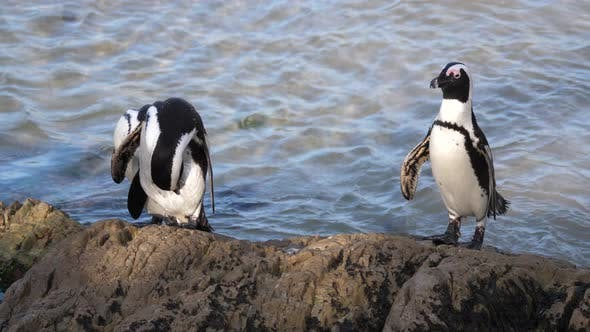 Thumbnail for Three Penguins preening their feathers on a rock
