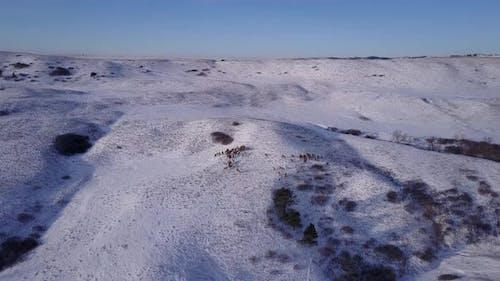 Elk Adult Immature Herd Many Standing Walking in Winter in South Dakota