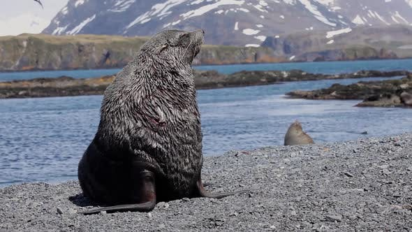 Thumbnail for Fur Seal on South Georgia Isaland