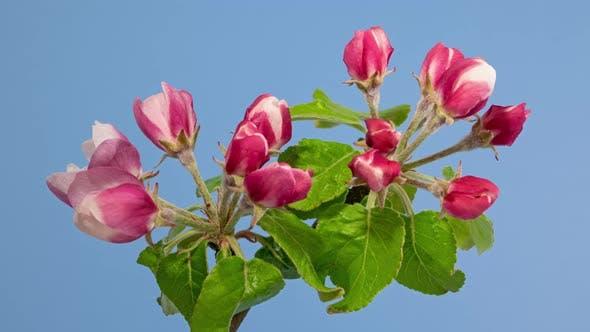 Thumbnail for Apple Tree Blossom Macro Timelapse on Blue