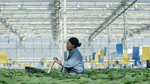 African Worker Walking in Greenhouse Nursery