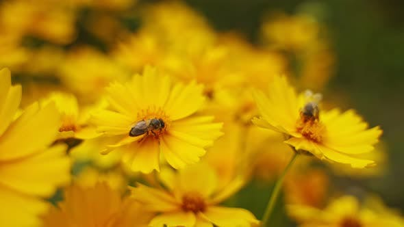 Thumbnail for Bees on flowers in summer