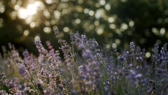 Thumbnail for Lavender Plant in Sunlight in Summer Day Close Up Move Camera