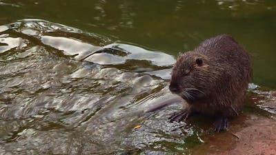 Water Rat in River