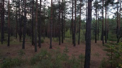 Evening Pine Forest