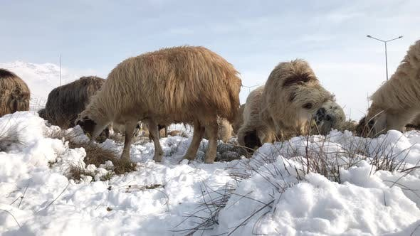 Thumbnail for Sheep On A Snowy Field