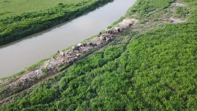 Water buffalo in Malay village