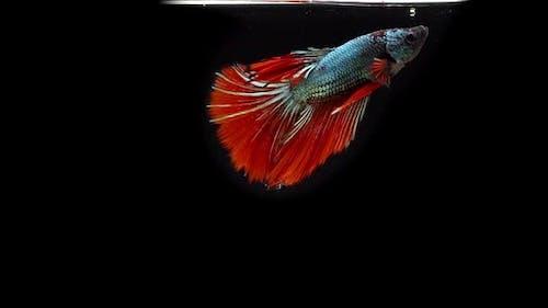 Siamese Fighting Fish Betta Splendens